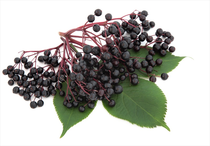 elderberry for colds